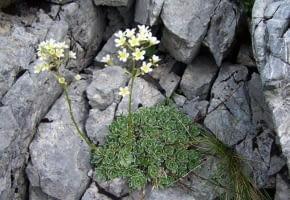 Encyklopedia roślin: Skalnica gronkowa ma kremowe kwiaty