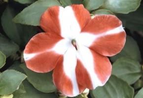Encyklopedia roślin: Kwitnace okazy niecierpka Wallera kupuje sie zwykl