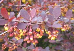 Encyklopedia roślin: Berberys ottawski  Berberis ottawensis   Superba