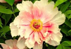 Encyklopedia roślin: Piwonia krzewiasta z grupy Rockii  Kwiaty kremowe