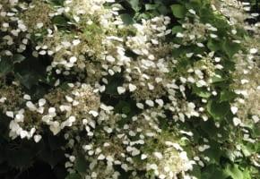 Encyklopedia roślin: Przywarka japonska  Schizophragma hydrangeoides