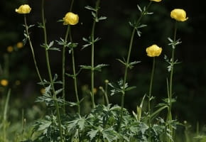 Encyklopedia roślin: Pelnik europejski  Trollius europaeus