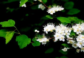 Encyklopedia roślin: Spiraea chamaedryfolia