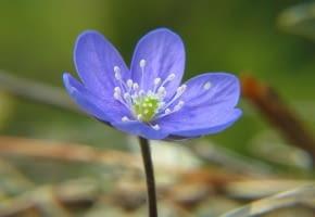 Encyklopedia roślin: Przylaszczka pospolita