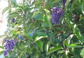 Encyklopedia roślin: Ligustr blyszczacy  Ligustrum lucidum    owoce to