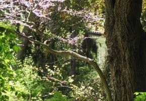 Encyklopedia roślin: Kwitnacy judaszowiec poludniowy  Cercis siliquastr