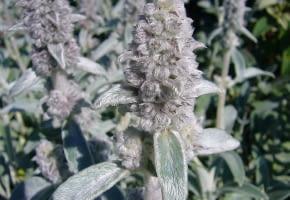 Encyklopedia roślin: Stachys byzantina