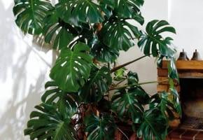 Encyklopedia roślin: KWIATY W MIESZKANIU  Monstera nie sprawia klopotow