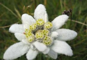 Encyklopedia roślin: Szarotka Alpejska  Leontopodium alpinum   Ma zolte
