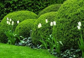 Encyklopedia roślin: Przyciety w kule bukszpan  Jest efektowny przez ca