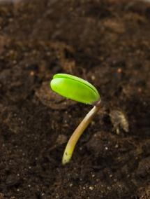 малка зелена соя току-що излиза от почвата