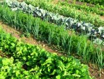 зелена зеленчукова леха със салтки, чесън и зеле