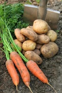 картофи и моркови върху пръст