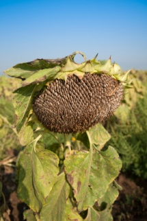 Jerusalem artichoke, a kind of sunflower is used in alcohol and silage production.