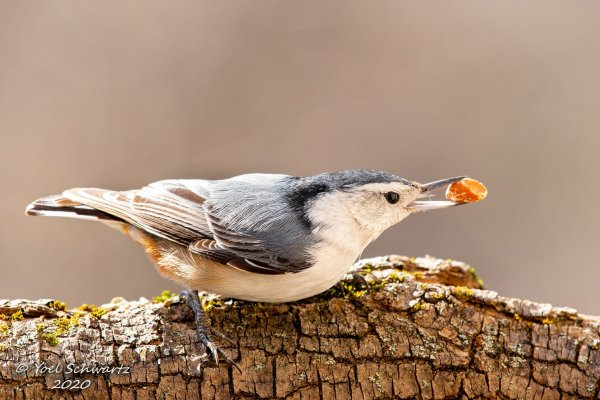 White-breasted Nuthatch 014.jpg