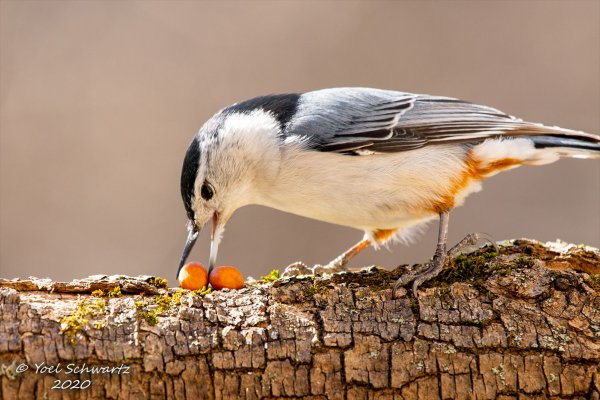 White-breasted Nuthatch 015.jpg