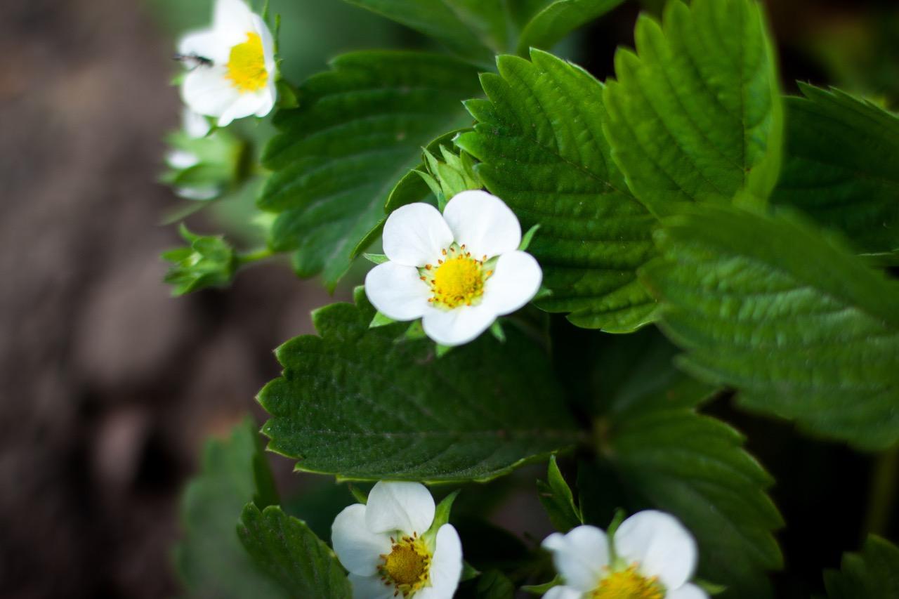 Erdbeerpflanze Blüte