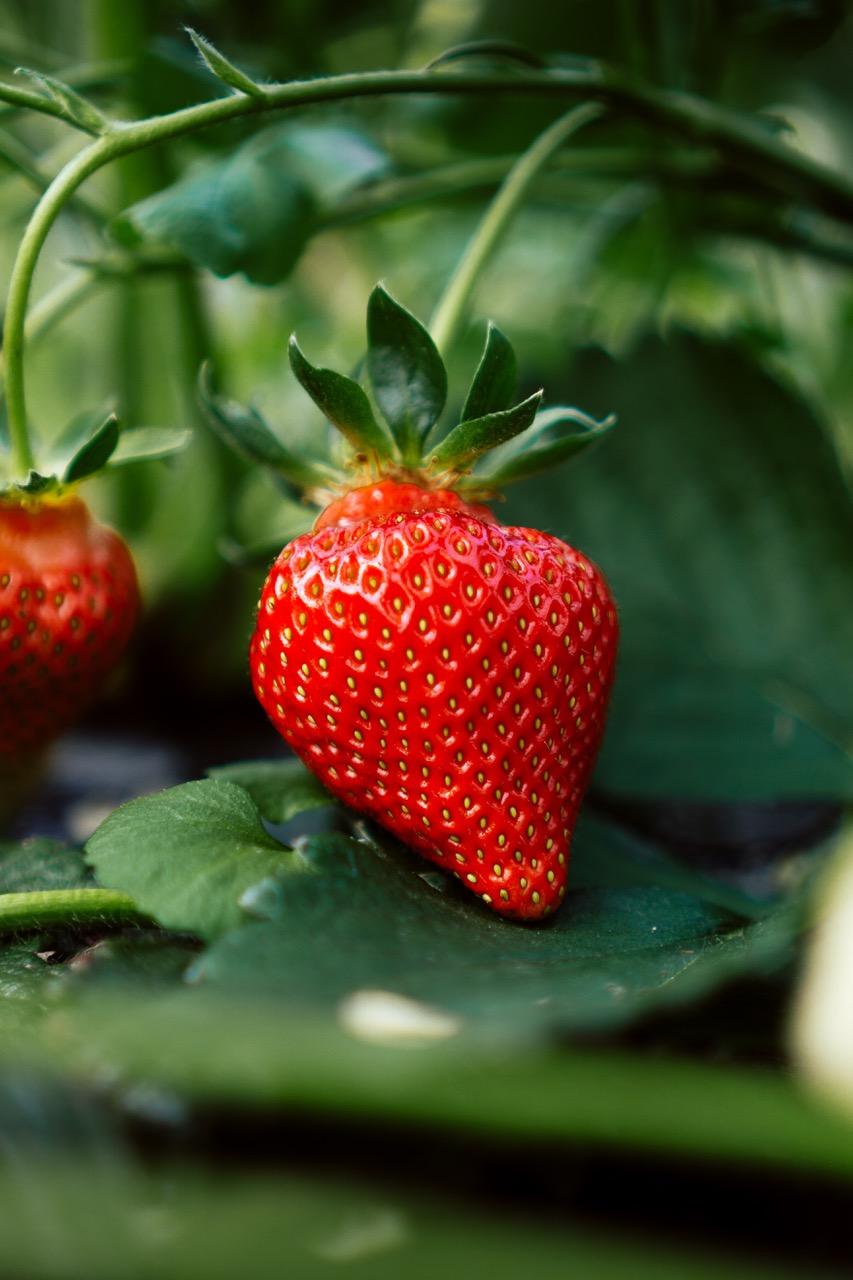 Erdbeere Pflanze Frucht