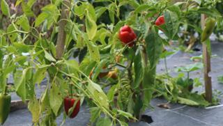 Chili Chili  von Biohof Wiesent in Hutthurm
