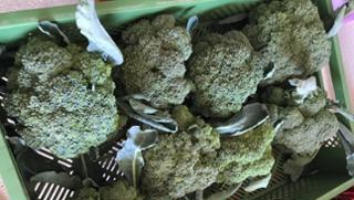 Brokkoli Brokkoli  von Biohof Wiesent in Hutthurm