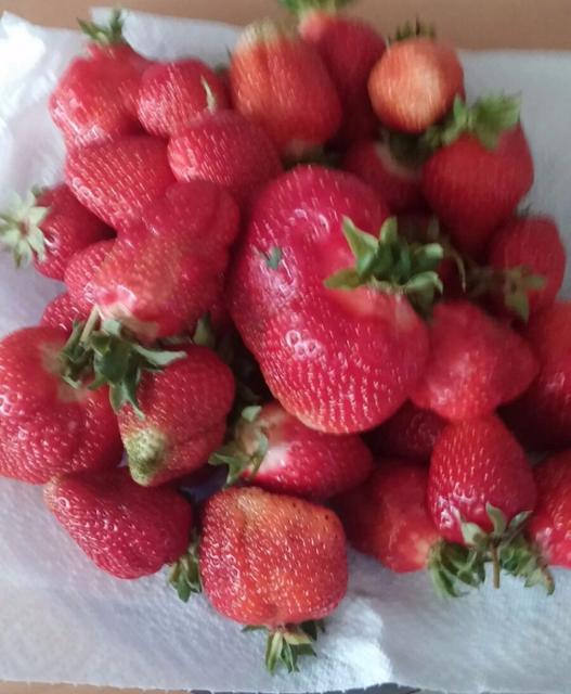 Erdbeeren Erdbeere  von Biohof Wiesent in Hutthurm