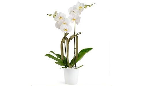 Zarafetin Simgesi 2 Dal Beyaz Orkide - Artvin Çiçekçi