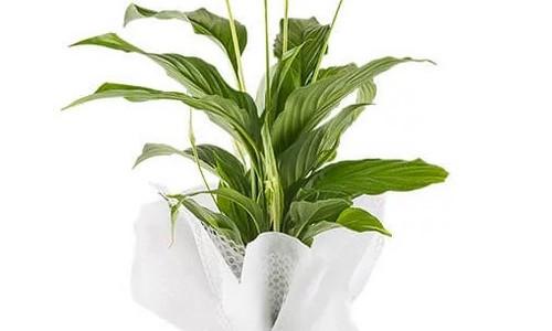Kar Beyaz Sevgi Spatifilyum Çiçeği - Artvin Çiçekçi