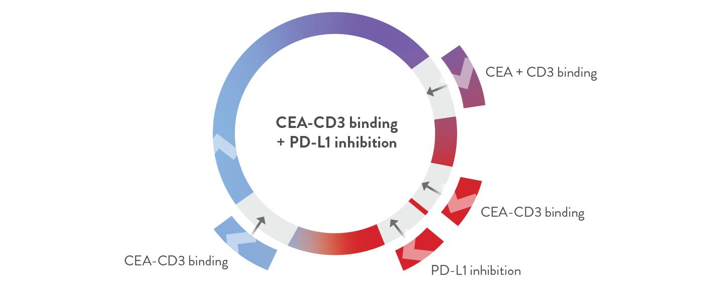 CEA-CD3 binding + PD-L1 inhibition