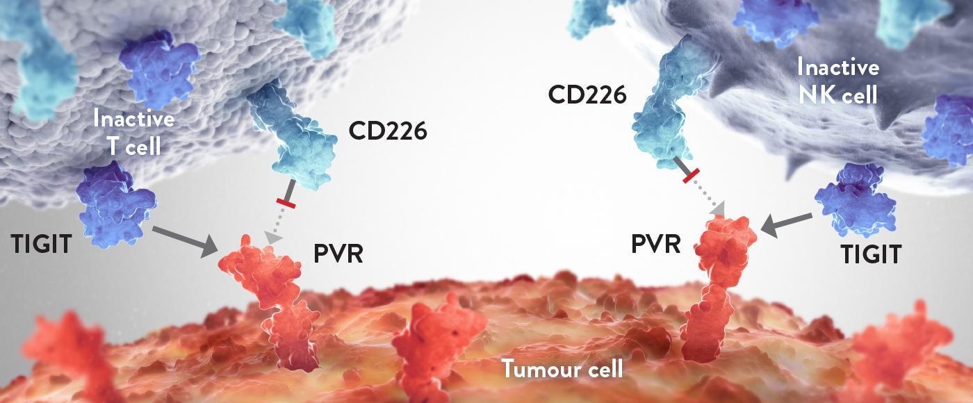 TIGIT tumour cell