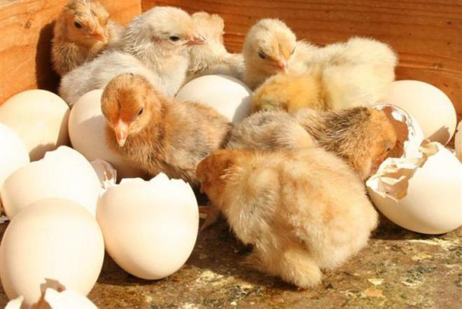 Periname vištų, ančių, žąsų kiaušinius-0
