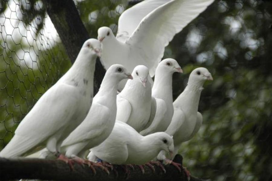 Balti balandžiai-meilės ir ištikimybės simbolis-1