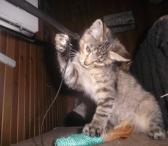 Dovanojama  3 mėn. katytė Maja-0