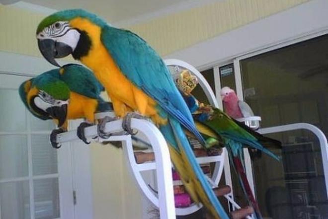 Taktiškas Macaw papūgos-0