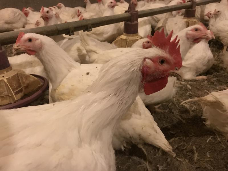 Mėsiniai viščiukai broileriai-0