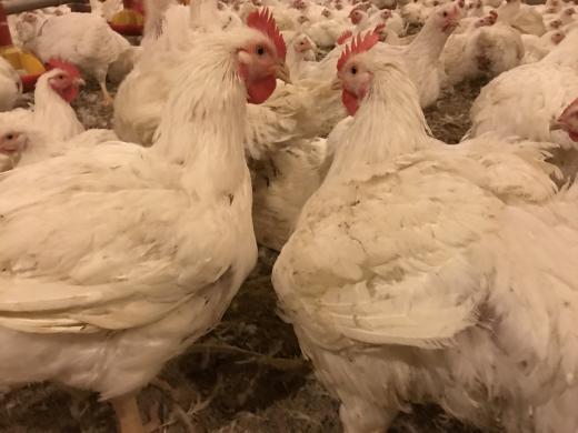 Mėsiniai viščiukai broileriai-2
