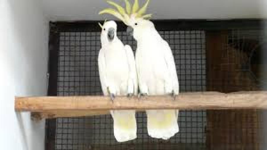 cockatiel arba cockatoo papūgos-1
