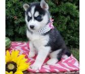 Mėlynos akys Sibiro husky šuniukai-0