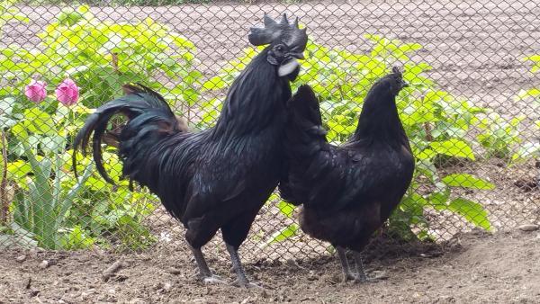 Ayam cemani vistos.-0