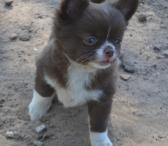 gražus Čihuahua šuniukas.-0