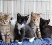 Ieškau kas dovanoja paprasta kačiuką, 2-3 mėnesių. -0