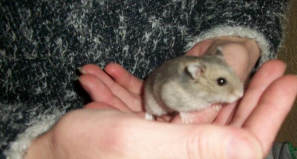 Džiungarijos žiurkėnai-1
