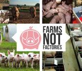 Darbas Anglijoje kiaulių fermoje-0