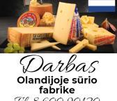 Darbas Olandijoje sūrio fabrike-0