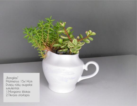 Sukulentai, kaktusai, augalai interjerui-0