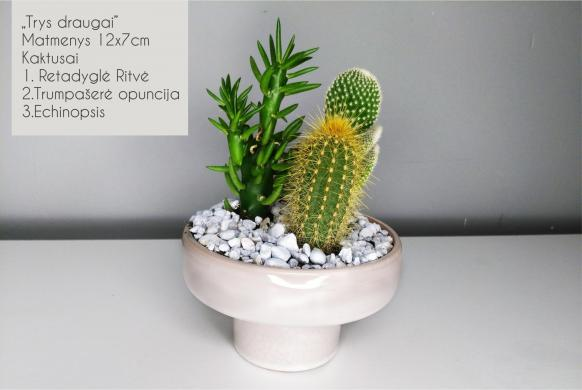 Sukulentai, kaktusai, augalai interjerui-1