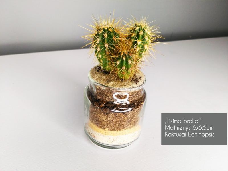 Sukulentai, kaktusai, augalai interjerui-5