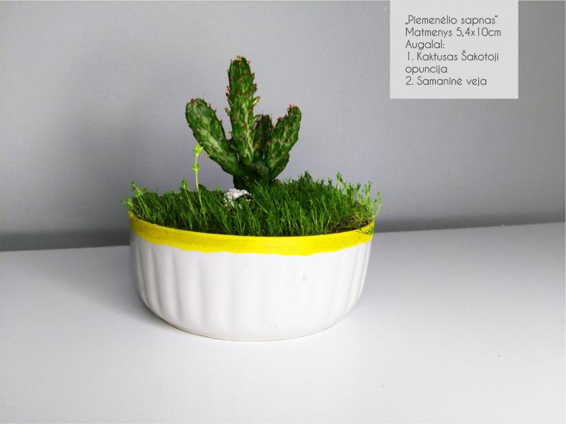 Sukulentai, kaktusai, augalai interjerui-7