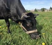 Parduodama šviežiapienė karvė(kaina nėra galutine)-0