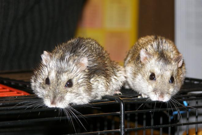 Džiungarijos žiurkėniukai-0