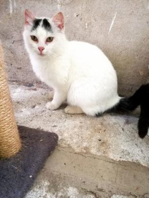 Dovanojama  meili katytė Cibera-4